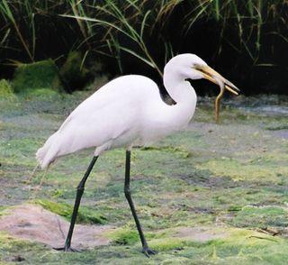 Image Gallery Marsh Animals