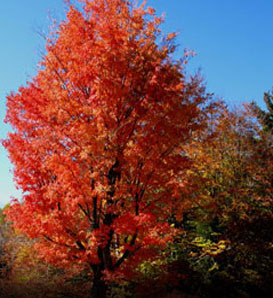 Red-Maple_1
