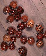 PSU.edu-ladybug-image_mini