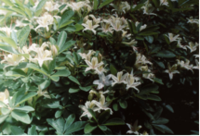 Rhododendron_2